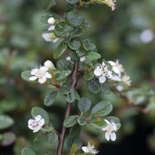 cotoneaster_little_dipper_flowers.jpg