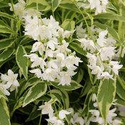 Creme Fraiche® - Deutzia gracilis