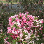czechmark_trilogy_weigela_1.jpg