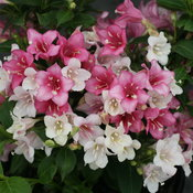 Czechmark Trilogy® - Weigela florida