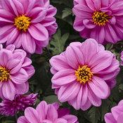 dahlightful_lively_lavender_tagimage.jpg
