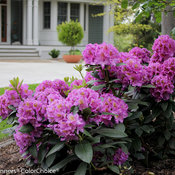 dandy_man_purple_rhododendron-2.jpg