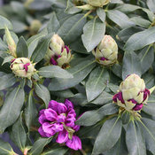 dandy_man_purple_rhododendron.jpg