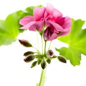 daredevilorchidsplash0117.jpg