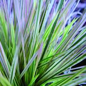 Northern Lights - Tufted Hairgrass - Deschampsia caespitosa