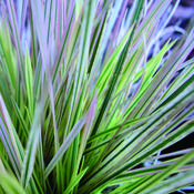 deschampsia-northern_lights.jpg