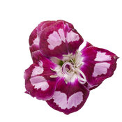dianthus-apple-slice-01.jpg