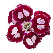 dianthus-apple-slice-02.jpg