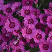 dianthus_paint_the_town_fancy_cjw18_3.jpg