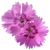 dianthus_paint_the_town_fancy_macro_01.jpg