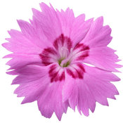 dianthus_paint_the_town_fancy_macro_04.jpg