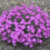 dianthus_paint_the_town_fuchsia.jpg