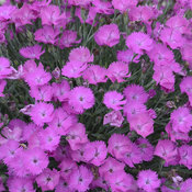 dianthus_paint_the_town_fuchsia2.jpg