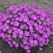 dianthus_paint_the_town_fuchsia_cjw14_1.jpg