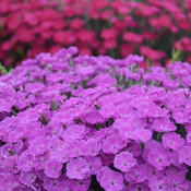 dianthus_paint_the_town_fuchsia_cjw16_11.jpg