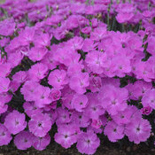 dianthus_paint_the_town_fuchsia_cjw16_2.jpg