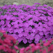 dianthus_paint_the_town_fuchsia_cjw16_7.jpg