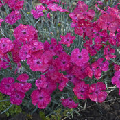 dianthus_paint_the_town_magenta2.jpg