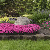 dianthus_paint_the_town_magenta_5.jpg