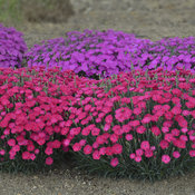 dianthus_paint_the_town_magenta_cjw16_17.jpg