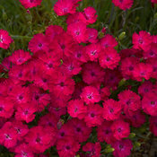 'Paint the Town Magenta' - Pinks - Dianthus