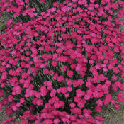 dianthus_paint_the_town_magenta_cjw16_6.jpg