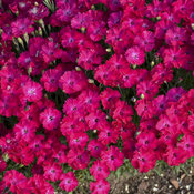 'Paint the Town Red' - Pinks - Dianthus hybrid