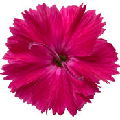 dianthus_paint_the_town_red_macro_04.jpg