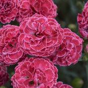 Fruit Punch® 'Raspberry Ruffles' - Pinks - Dianthus hybrid