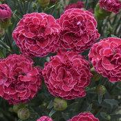 dianthus_raspberry_ruffles_cjw16_12.jpg