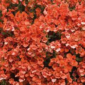 diascia flirt orange 3.jpg