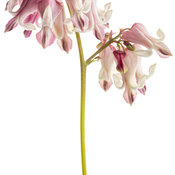dicentra_pink_diamonds_04-macro.jpg