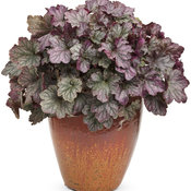 dolce-blackberry-ice-heuchera-mono.jpg