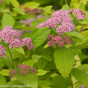 double_play_big_bang_spirea-7402.jpg