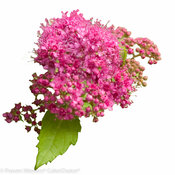 double_play_big_gold_spirea-7425.jpg