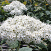 double_play_blue_kazoo_spirea-1357.jpg
