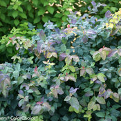 double_play_blue_kazoo_spirea-3125.jpg