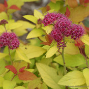 double_play_candy_corn_spirea_blooms_close_up.jpg