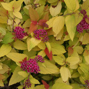 double_play_candy_corn_spirea_flowers.jpg