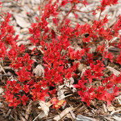 double_play_candy_corn_spirea_spring_color.jpg