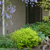 double_play_gold_spirea-6302.jpg