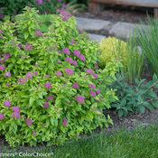 double_play_gold_spirea-7177.jpg