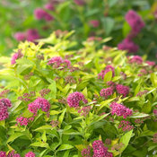double_play_gold_spirea-7689.jpg