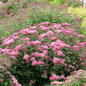 Double Play Pink Spirea