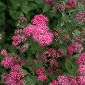 double_play_pink_spirea_flowers.jpg
