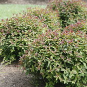 double_play_red_spirea_planting.jpg