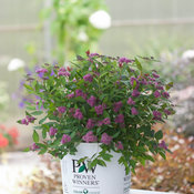 Double Play Artisan Spirea