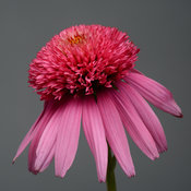double_scoop_bubblegum_echinacea_ech14-17879.jpg