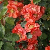 double_take_peach_quince_3.jpg