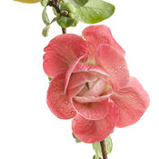 double_take_pink_storm_chaenomeles_03.jpg